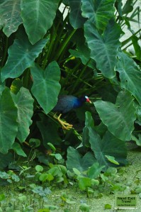 Gallinule among the elephant ears at Bird City, Jungle Gardens, Avery Island, LA