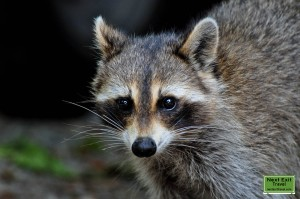 Mother raccoon at Rip Van Winkle Gardens, Jefferson Island, LA