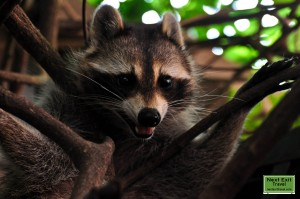 Mother raccoon near her nest at Rip Van Winkle Gardens, Jefferson Island, LA