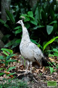 Penchicks with peahen at Rip Van Winkle Gardens, Jefferson Island, LA