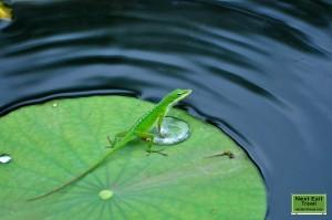 Green anole at Rip Van Winkle Gardens, Jefferson Island, LA