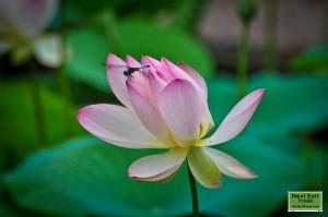 Dragonfly on lotus at Rip Van Winkle Gardens, Jefferson Island, LA