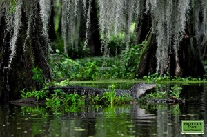 Alligator at Lake Martin, LA