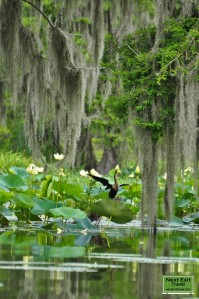 Anhinga at Lake Martin, LA