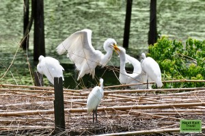 Snowy Egrets at Bird City, Jungle Gardens, Avery Island, LA