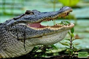 Alligator at Lake Martin, LA