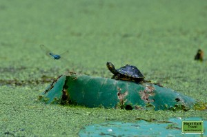 Dragonfly and baby turtle at Lake Martin, LA