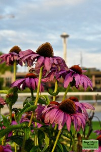 Coneflowers and the Space Needle
