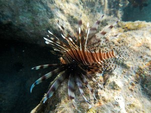 lionfish (I know they are bad and invasive, but they are amazing looking)