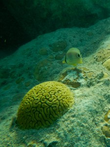 butterfly fish with coral