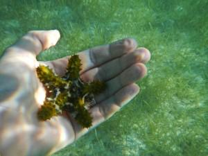 wee starfish