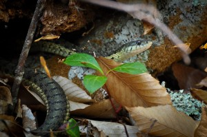 Garter snake at Beech Forest trail